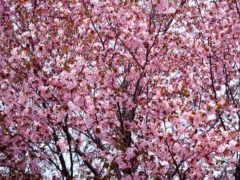 cherry, blossoms, лепестки