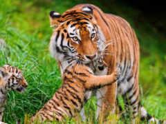 тигрица, тигрятами, тигры