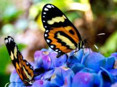 бабочки, цветах, cvety