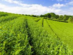 плантация, чая, чая