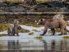 медведь, animal, wallpapermaniac