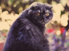 вислоухий, кот, scottish