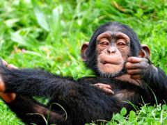 обезьяна, трава, шимпанзе