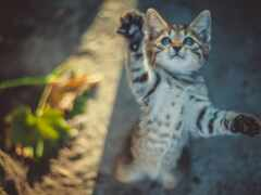 кот, domestic, cute