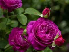 розы, роза, cvety