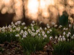 подснежники, весна, cvety