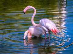 фламинго, puzzle, птицы