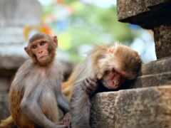 обезьяна, oir