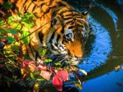 тигр, water, leaf