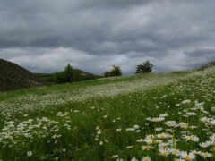 поле, красивое, рoмашек