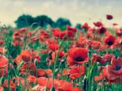 цветы, poppy, oir