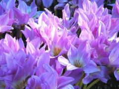 bezvremennik, цветы, lukovichnyi