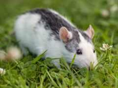 souris, herbe, une