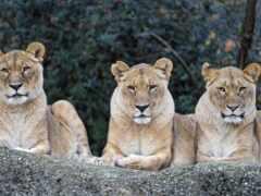 львица, кот, хищник