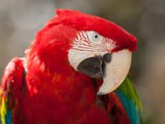 птицы, папуги, papuga
