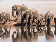 слон, watering, african