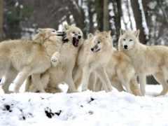 волков, овцы, волк