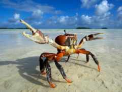 land, fat, crab