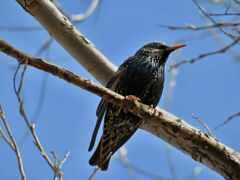 starling, ang, птица