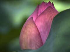 цветы, лотоса, lotus