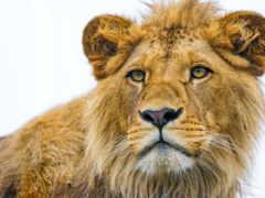 lion, вечер, ojos