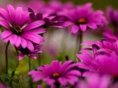 cvety, герберы, яркие