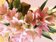 cvety, лилии, цветы