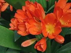 flores, cvety, anaranjadas