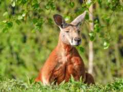 kangaroo, duvar, grey