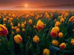 тюльпан, утро, funart