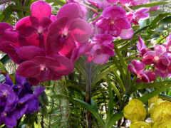 орхидея, oir