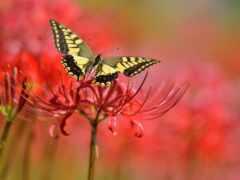 цветы, бабочка, красное