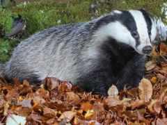 badger, hunting, барсука
