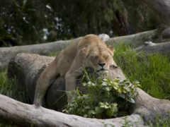 львица, lion, спит