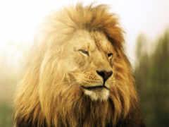 lion, морда