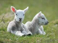 sheep, ламб, white