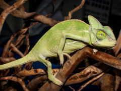 chameleon, free