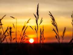 природа, закат, колосок