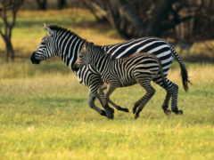зебры, zhivotnye, зебр