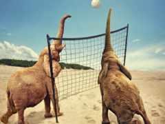 волейбол, pantalla, elefantes