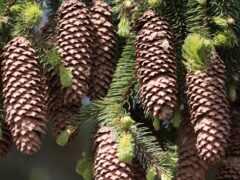 cone, pine
