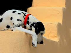 щенок, ошейник, dalmatian