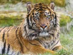 тигр, sumatran, сиамский
