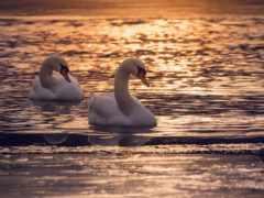 лебедь, лебеди, pair