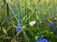 cvety, полевые