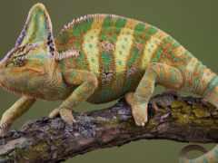 chameleon, iemenskii, calyptratus