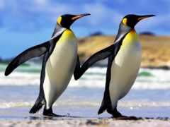 пингвины, императорские, следы