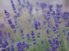 lavender, поле, cvety