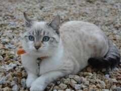 кот, глаз, blue