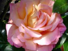 tapety, роза